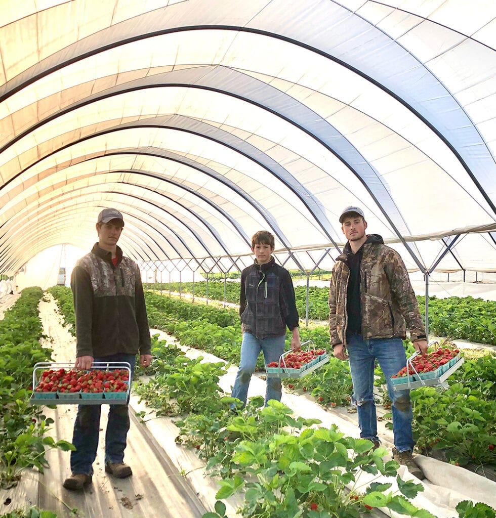 boys picking strawberries in greenhouse